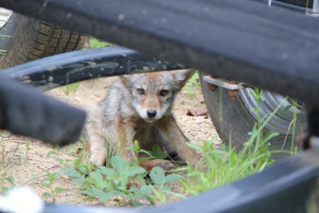 Coyote Baby 2